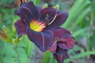 daylily 'total eclipse'