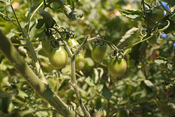 Tomato 'Principe Borghese' is great for drying.