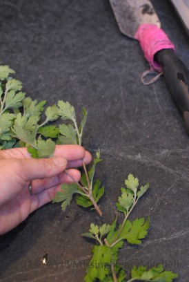 Begin with the tips cut off from the mother plant.
