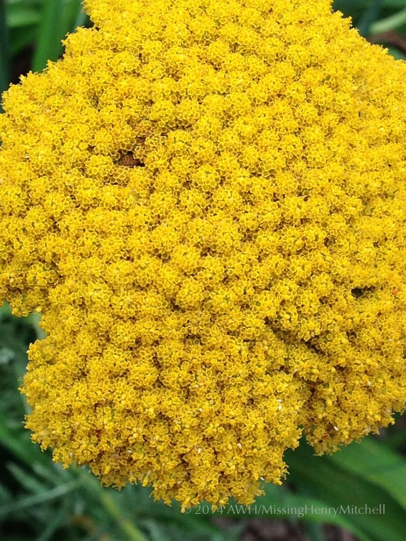 yarrow 'cloth of gold'