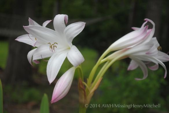 Crinum bloom