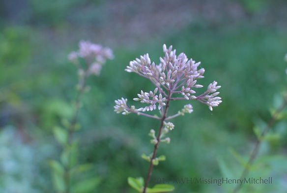 Hollow joe pye weed