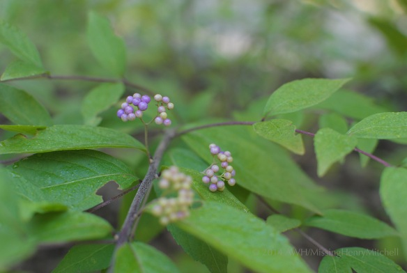 Callicarpa dichotoma 'Issei' berries turn electric purple in the autumn