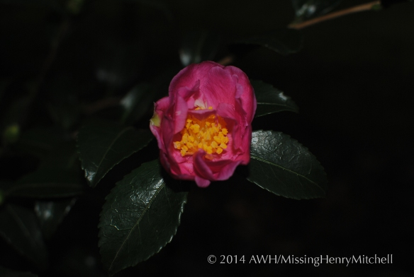 camellia sasanqua 'two marthas' dark and dramatic