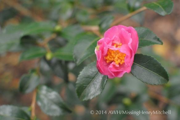 camellia sasanqua 'two marthas'