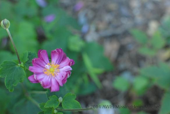 anemone hupenensis 'Pamina'