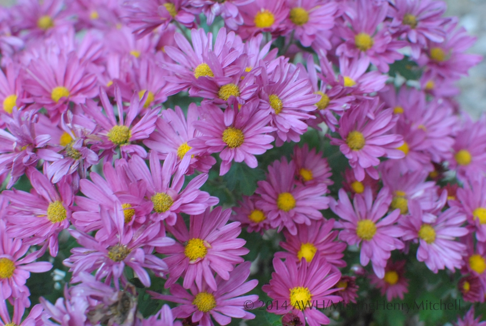 rosy chrysanthemum