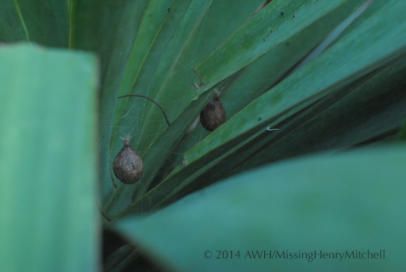 spider egg sacs in yucca plant