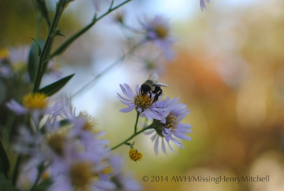 Bee on aster tataricus.