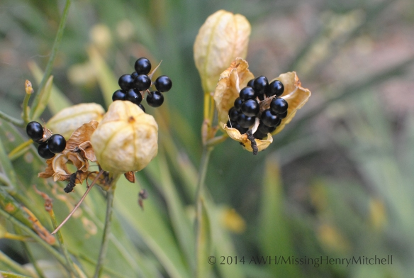 iris domestica seed pod