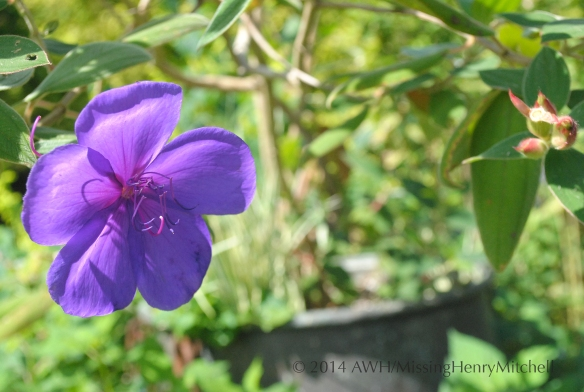 purple tibouchina flower