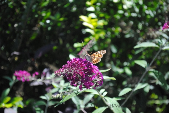 Painted lady (Vanessa cardui)?  on butterfly bush.