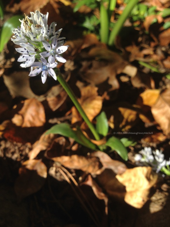 Scilla lingulata, an autumn-blooming Scilla.