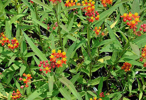 Tropical Milkweed. Photo from University of Florida.