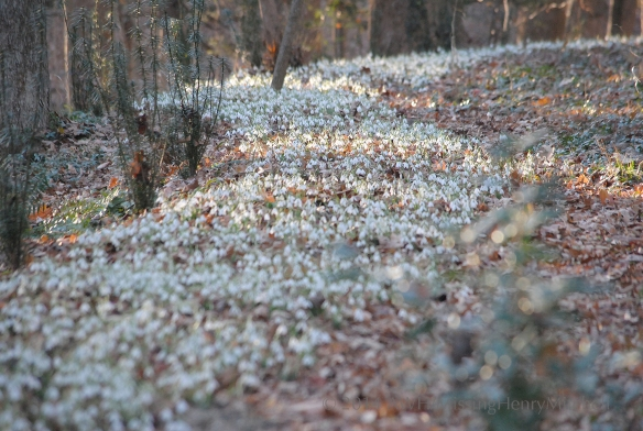 snowdrop ribbon
