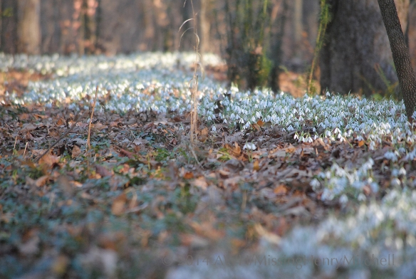 In late November, the snowdrop ridge turns from a hill of fallen leaves into a rippling white ribbon.
