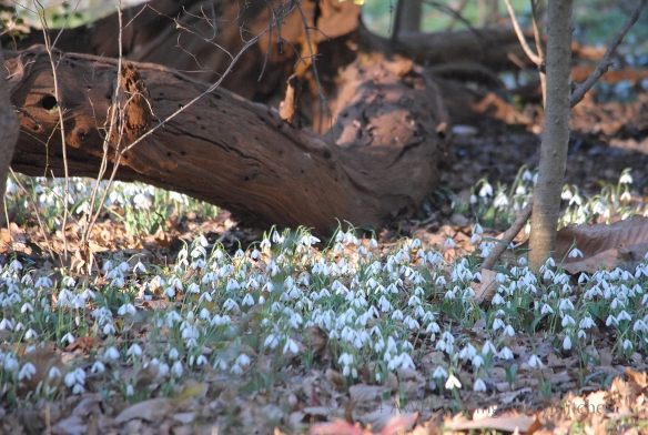 Snowdrops (Galanthus sp.) beneath a fallen trunk of Maclura pomifera, commonly known as osage orange.
