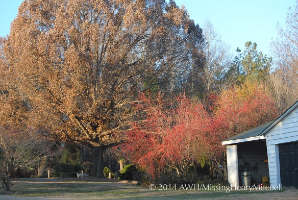 white oak and ilex decidua