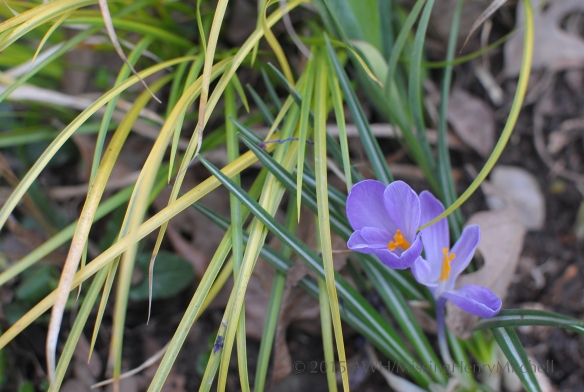 Crocus tommasinianus and Acorus gramineus 'Ogon'