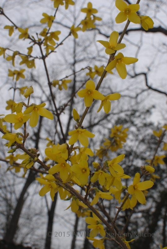 forsythia blossoms gray sky
