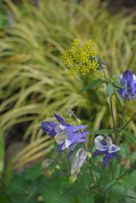 Aquilegia and Zizia aurea in front of Acorus gramineus 'Ogon' in my rain garden.