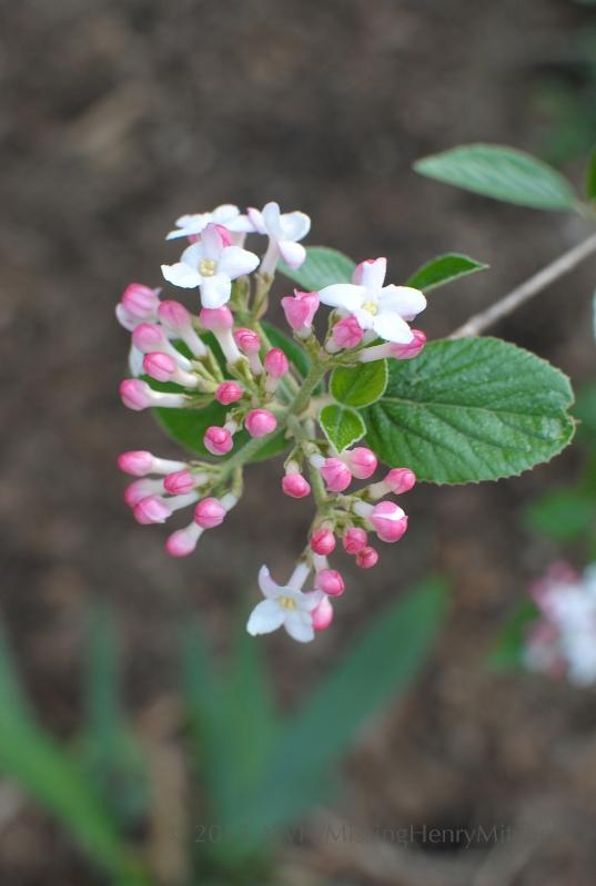 viburnum buds