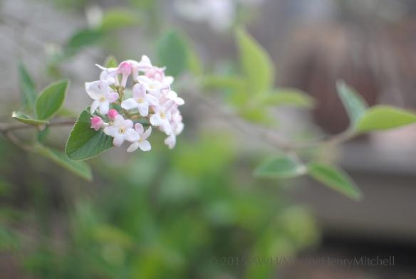 viburnum mohawk flower