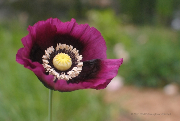 poppy flower 3