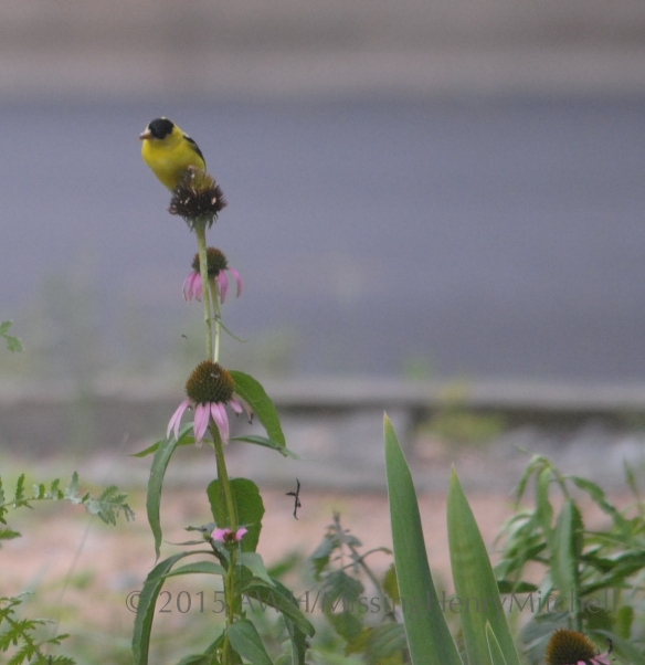goldfinch on echinacea curious sm