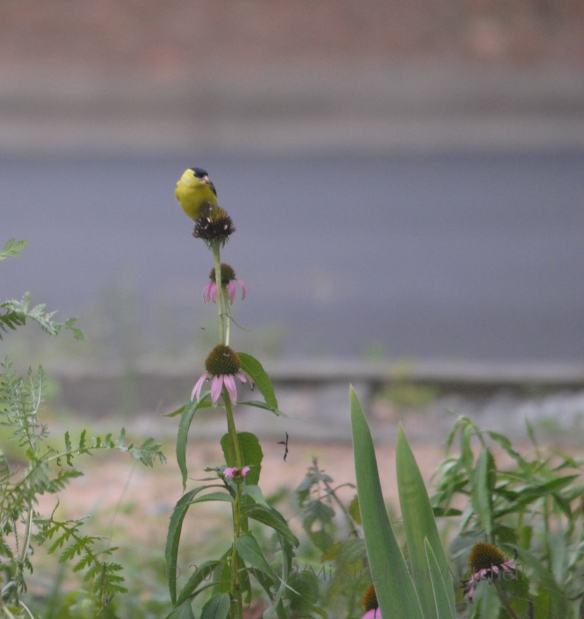 goldfinch on echinacea sm