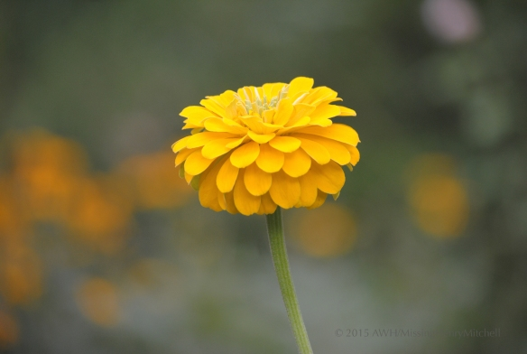 zinnia single yellow 3