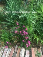 sweet william medium pink