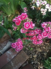 sweet william pink ripple