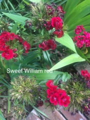 sweet william red