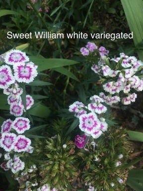 sweet william white variegated