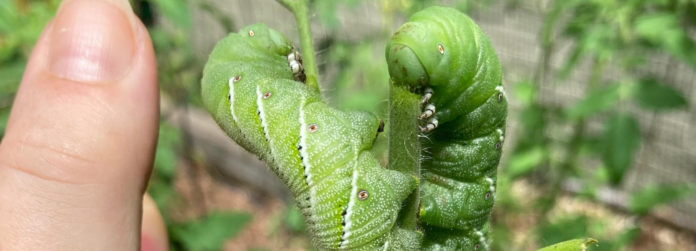 tomato hornworm caterpillars