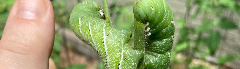 tobacco hornworm caterpillars